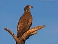 Weißkopf-Seeadler, Weißkopfseeadler, Bald Eagle, American Bald Eagle, Haliaeetus leucocephalus, Pygargue à tête blanche, Pigargo Americano
