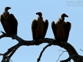 Weißrückengeier, African White-backed Vulture, White-backed Vulture, Gyps africanus