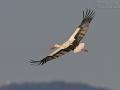 Weißstorch, White Stork, Ciconia ciconia