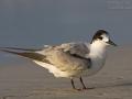 Weißwangen-Seeschwalbe, Weißwangenseeschwalbe, White-cheeked Tern, Sterna repressa, Sterne à joues blanches, Charrán Arábigo