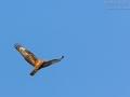 Wespenbussard, Euroüean Honey-buzzard, Pernis apivorus