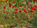 Wiedehopf, Hoopoe, Eurasian Hoopoe, Upupa epops, Huppe fasciée, Abubilla