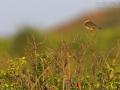 Wiesenpieper, Meadow Pipit, Anthus pratensis, Pipit farlouse, Bisbita Común