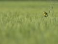 Wiesenschafstelze, Schafstelze, Blue-headed Yellow Wagtail, Motacilla flava flava, Bergeronnette printanière, Lavandera Boyera