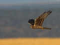 Wiesenweihe, Montagu's Harrier, Montague's Harrier, Circus pygargus, Busard cendré, Aguilucho Cenizo