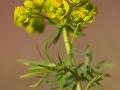 Zypressen-Wolfsmilch / Euphorbia cyparissias