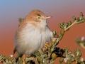 Wüstengrasmücke, Desert Warbler, Desert Whitethroat, Sylvia nana, Fauvette naine, Curruca Sahariana
