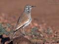 Wüstenläuferlerche, Hoopoe Lark, Greater Hoopoe-Lark, Alaemon alaudipes, Sirli du désert, Sirli Desértico, Alondra Ibis