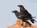 Wüstenrabe, Brown-necked Raven, Corvus ruficollis, Corbeau brun, Cuervo Desértico