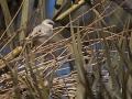 Wüstensperling, Desert Sparrow, Passer simplex, Moineau blanc, Gorrión Sahariano