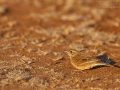 Zimtspornpieper, African Pipit, Anthus cinnamomeus