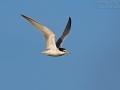 Zwergseeschwalbe, Little Tern, Sterna albifrons, Sterne naine, Charrancito Común