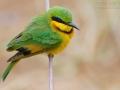 Zwergspint, Little Bee Eater, Little Bee-eater, Merops pusillus